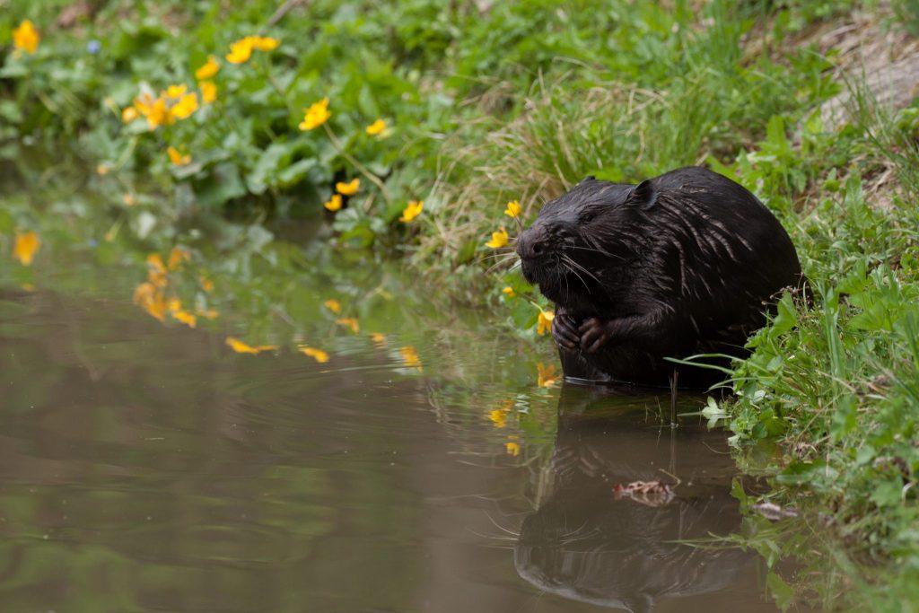 d59854216 Pretransportovaný bobor sa v prirodzenom prostredí cítil hneď ako doma. A  tak ako v roku 2014, aj tento krát bol presun chráneného živočícha do  voľnej ...